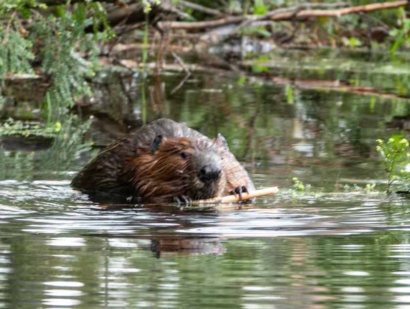 beaver on granny's pond