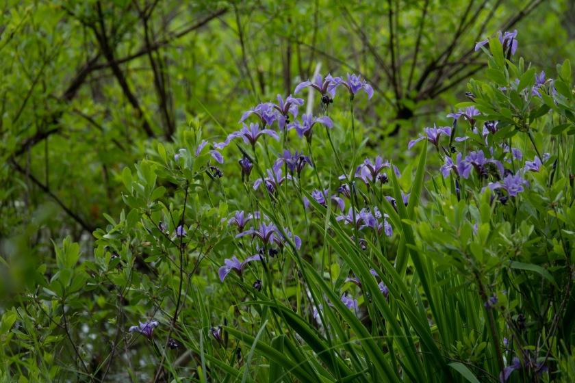 Blue flag iris, I. versicolor