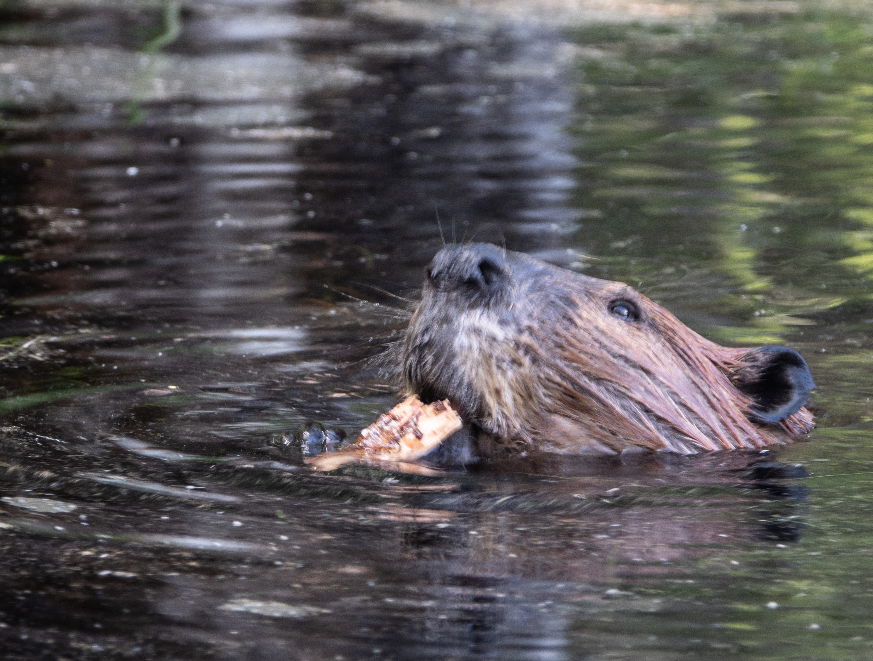Beaver eating cattail root