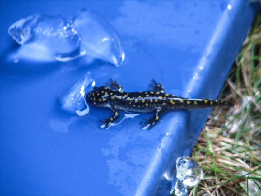 Spotted salamander, Ambystola maculatum