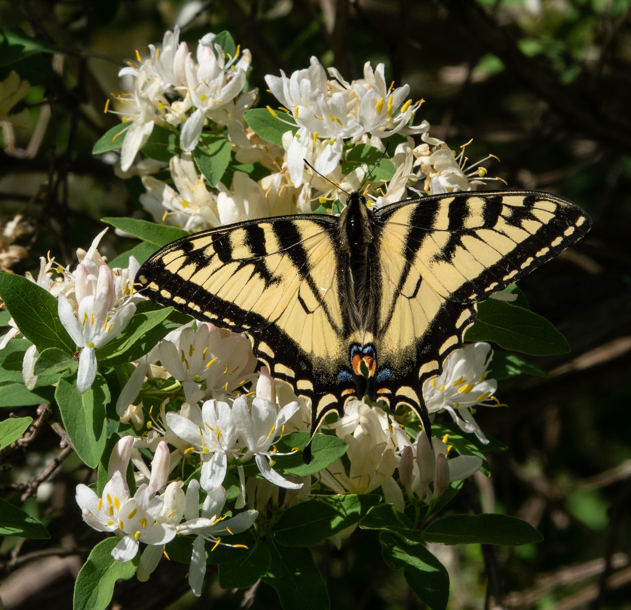 swallowtail on honeysuckel