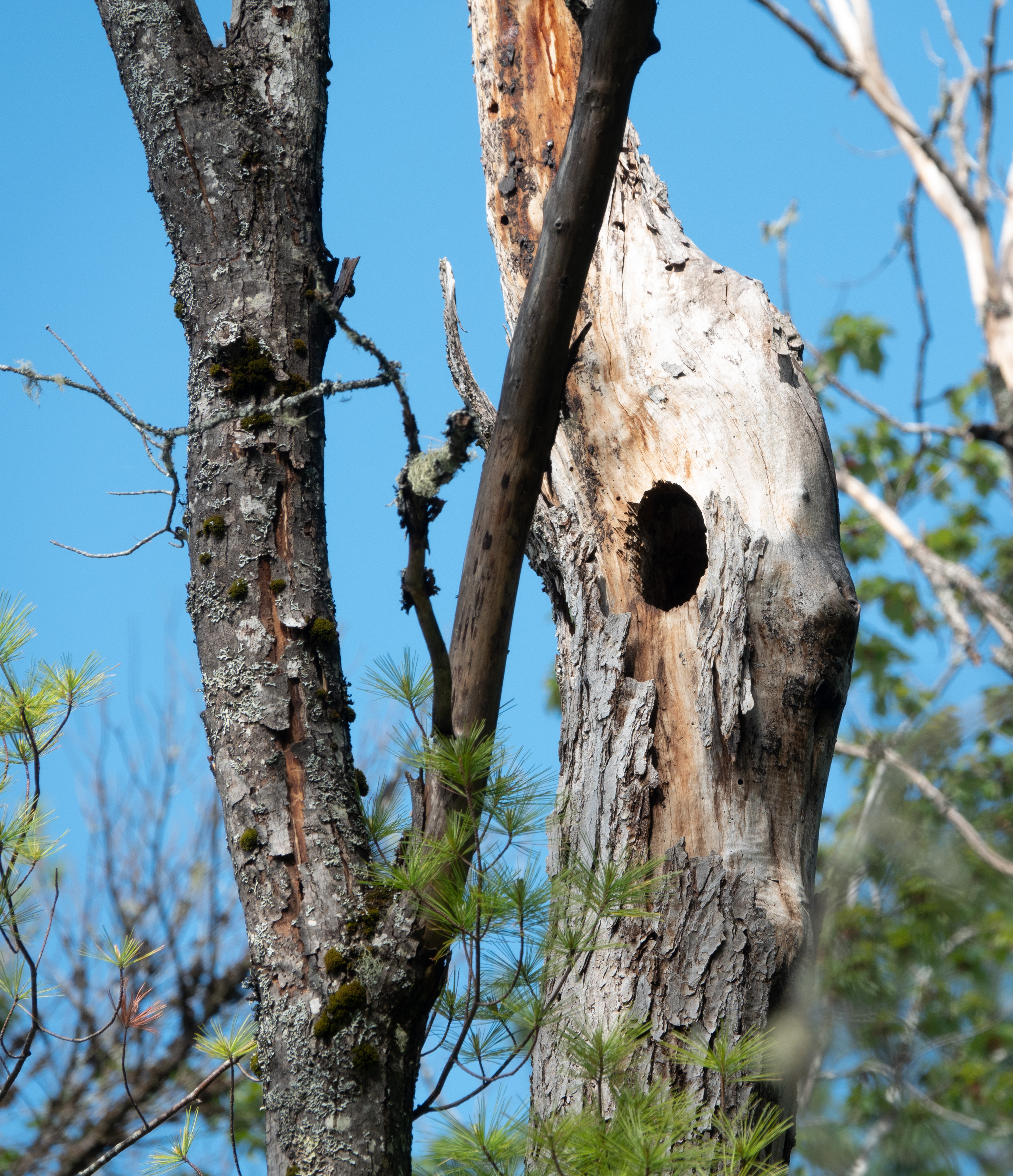 Possible wood duck nest hole