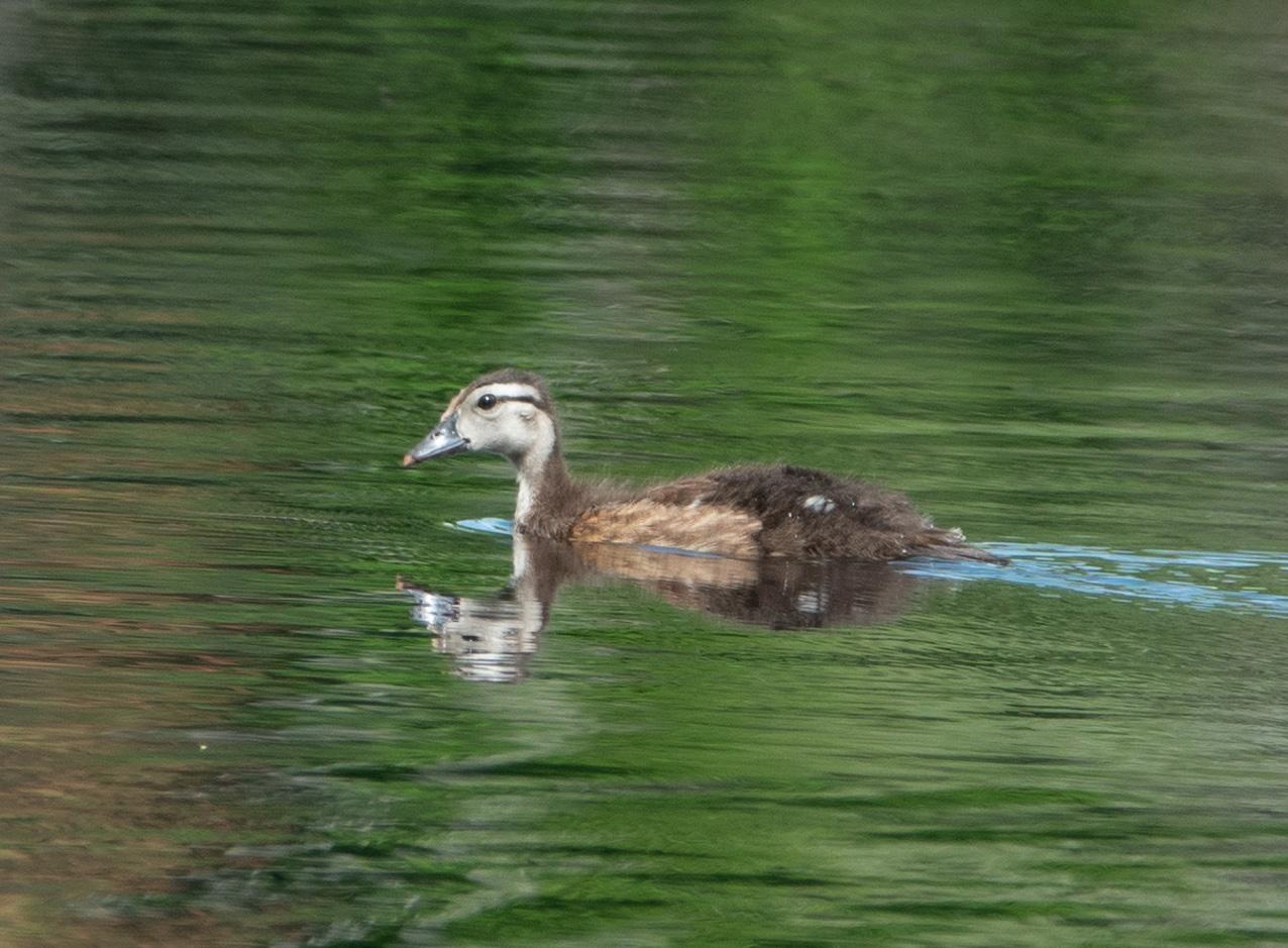 Merganser duckling
