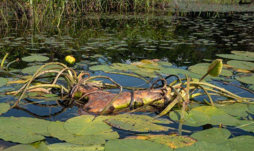 Spatterdock root eatern by beavers